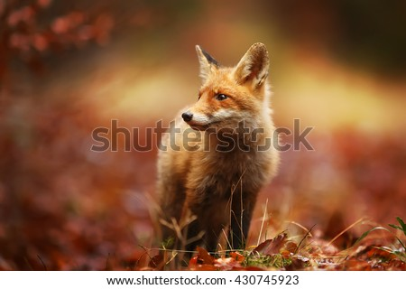 Cautious fox stopped at the edge of the forest in autumn leaves.