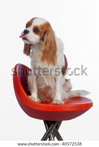 cavalier king charles spaniel pulling tongue