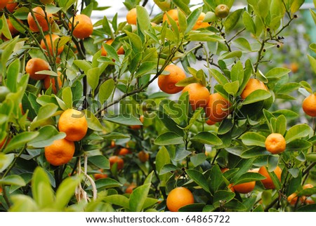 cedar trees, oranges and tangerines in a greenhouse