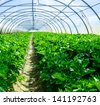 Celery greenhouse culture - stock photo