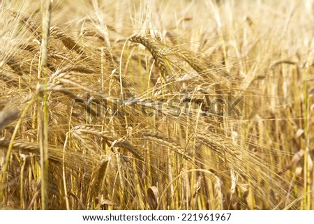 Cereal Plants Barley With Different Focus Barley Grain Is Used For Flour