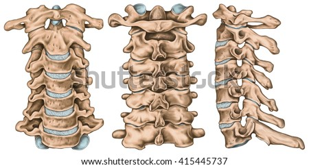 joints vertebral column cervical spine structure stock, Human Body