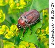 chafer beetle - stock photo