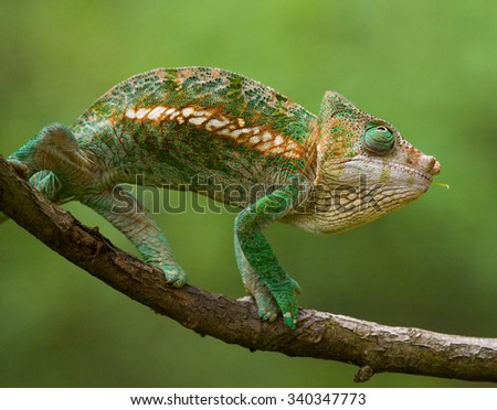 Chameleon sitting on a branch. Madagascar. An excellent illustration. Close-up.
