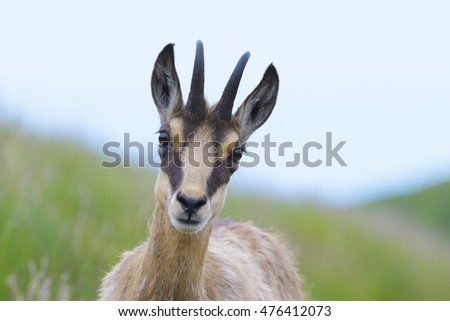 Chamois (Rupicapra rupicapra), Vosges, Alsace, France, Europe