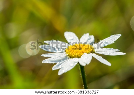 Chamomile flower in a meadow close-up