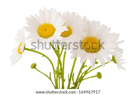 chamomile flower isolated on white