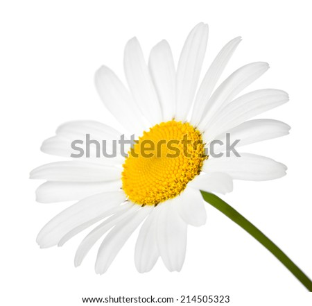 Chamomile flower isolated on white background. Macro shot