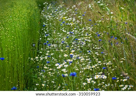 chamomile on field
