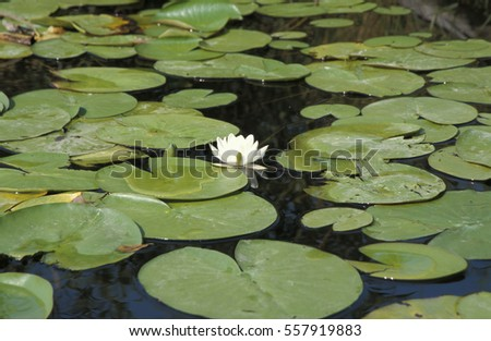 Channels in Danube Delta, water lilies, Romania, Danube Delta, St. Gheorge