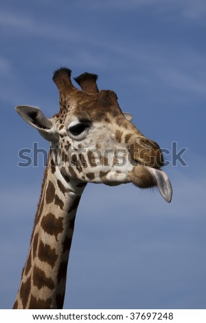 Cheeky giraffe sticking tongue out to the right