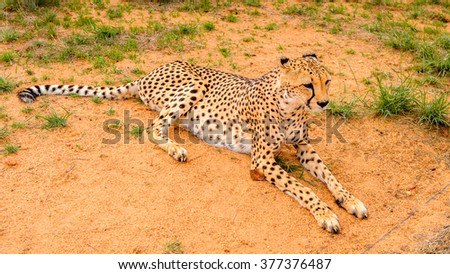 Cheetah close view at the Naankuse Wildlife Sanctuary, Namibia, Africa