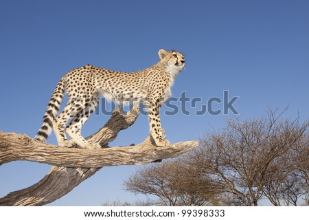 Cheetah cub (Acinonyx jubatus) on a dead tree with blue sky background, wide angle, South Africa