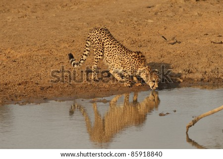 Cheetah drinking from water hole