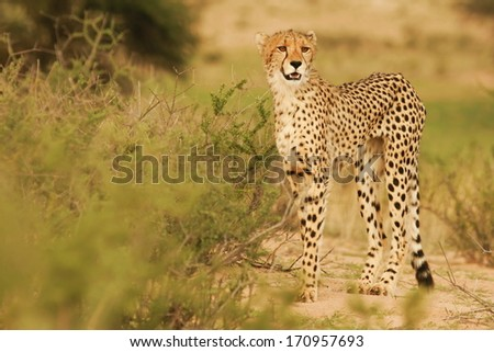 Cheetah-Gepard-South Africa