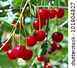 Cherries on a branch - stock photo