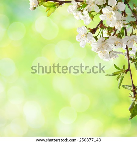Cherry  blossom  on    defocused    light green  background.