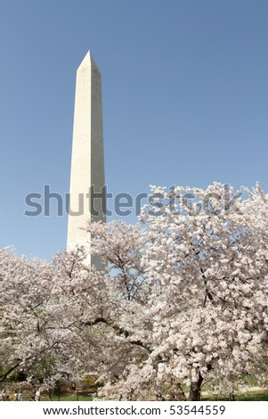 Cherry Blossoms in Washington DC, view of the Washington Monument