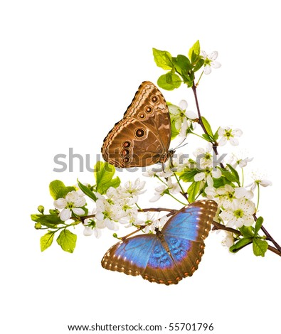 cherry-tree flowers with butterflies isolated on white background