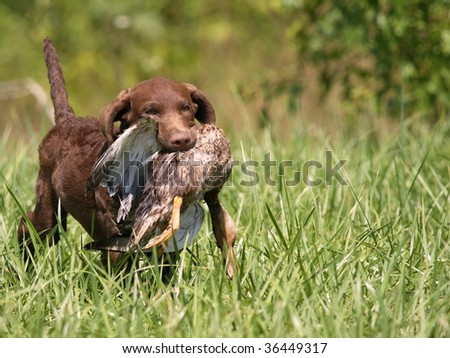 Chesapeake Bay Retriever puppy 4 months old happily retrieving his duck.