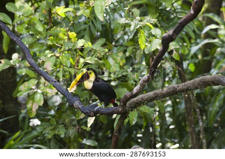 Chestnut mandibiled toucan or Swainsonâ??s toucan (Ramphastos ambiguus swainsonii) eats a piece of banana while sitting on a tree limb in the tropical rainforest.