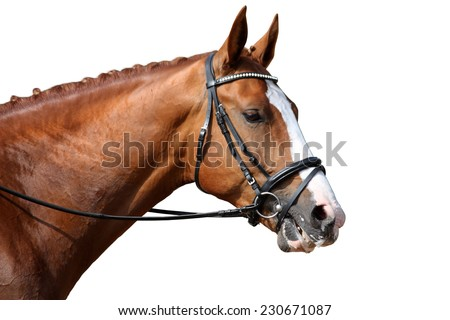Chestnut sport horse portrait isolated on white background