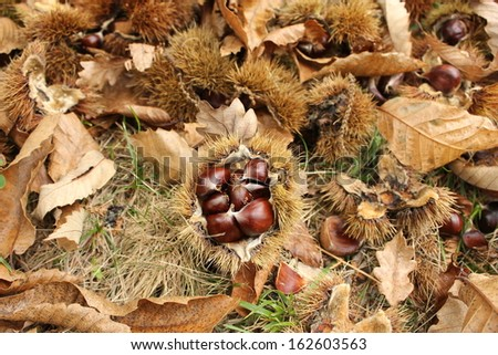 Chestnuts on Chestnut grove in Lozere village near Florac, National park of the Cevennes, France