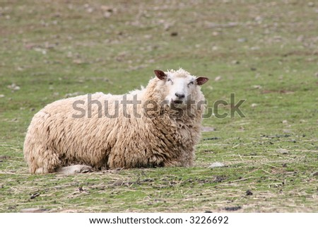Chewing Sheep Laying Down