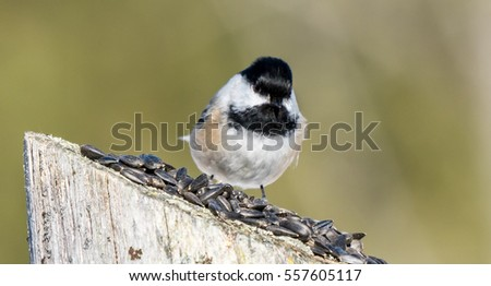Chickadee On A fence Post Eating Seeds