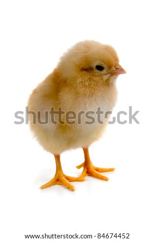 Chicken isolated on a white background