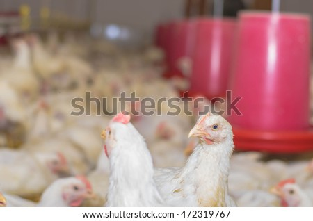 Chickens at the farm indoor with shallow depth of field selective focus