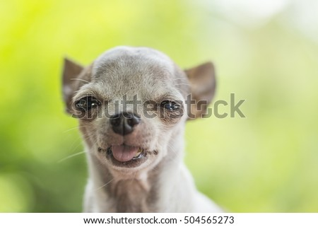 Chihuahua dog isolated on green nature background