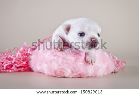 Chihuahua puppies, cute, small, little white, tiny