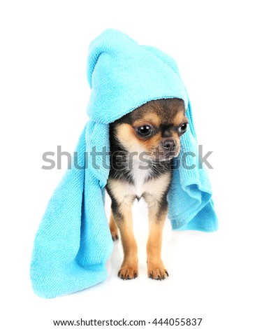 Chihuahua puppy after bath isolated on white