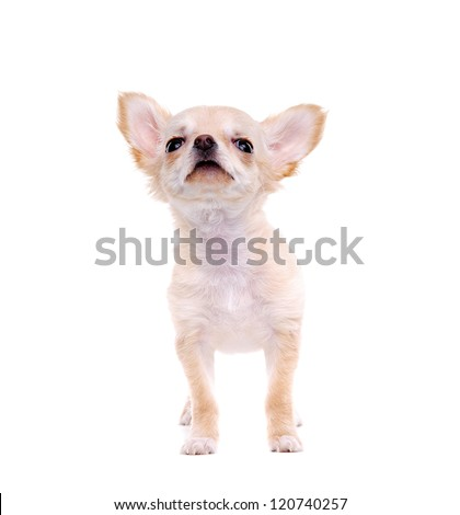 Chihuahua puppy looking to the copy space area