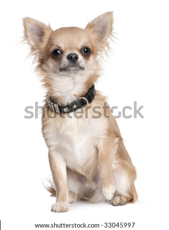 chihuahua puppy (8 months old) in front of a white background