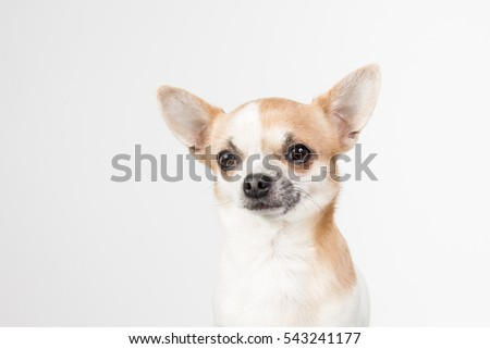 Chihuahua, small dogs, doggie