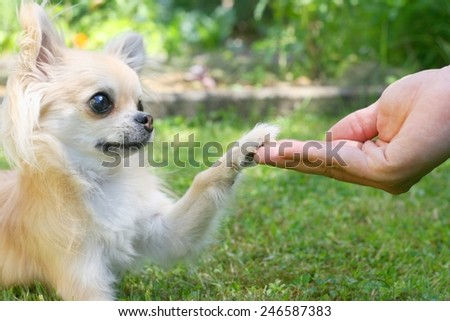 Chihuahua touching paw with man's hand, handshake