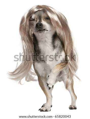 Chihuahua with long hair wig, 3 years old, standing in front of white background