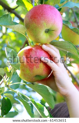 Child picking apple in the orchard