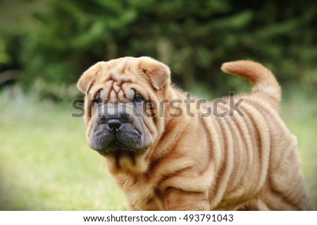 Chinese Shar pei puppy portrait at garden