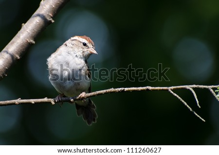 Chipping Sparrow Perched in a Tree