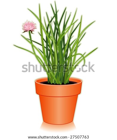 Chives in clay flowerpot. Popular cooking herb, pink flowers, slender, hollow leaves,  mild onion flavor for seasoning, garnish. Classic in French herb blend Fines Herbes. See more spices in series.