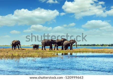 Chobe National Park in Botswana. Watering in the Okavango Delta. African elephants crossing river in shallow water. The concept of active and exotic tourism