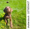 Chocolate lab puppy looking excitedly at a passing bumble bee in the summer, wide angle. - stock photo