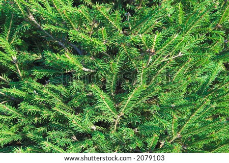 christmas background - green fir branch close up