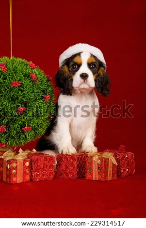 Christmas Cavalier King Charles Spaniel wearing Santa hat sitting with Christmas topiary and red Christmas gifts against dark red background