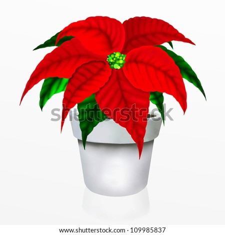 Christmas Poinsettia Flower in White Pot, Closeup Isolated on White Background