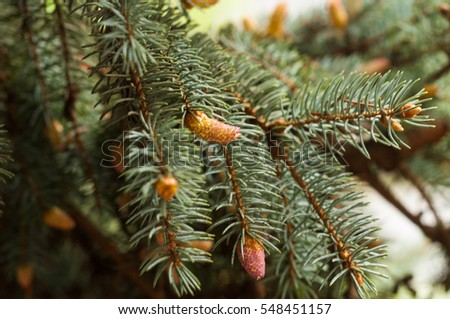 Christmas tree branch with needles and small cones in the summer