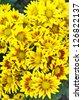 Chrysanthemums flower. - stock photo